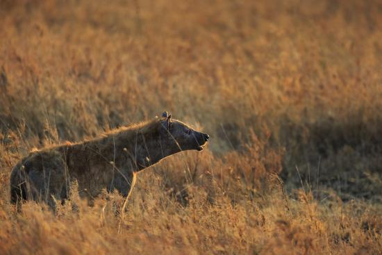 Spotted hyena (Crocuta crocuta), Serengeti National Park, Tanzania, East Africa, Africa-Ashley Morgan-Photographic Print