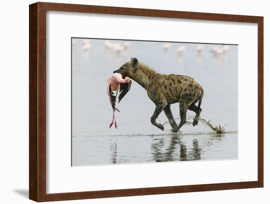 Spotted Hyena (Crocuta Crocuta) With Lesser Flamingo (Phoenicopterus Minor) It Has Just Caught-Denis-Huot-Framed Photographic Print