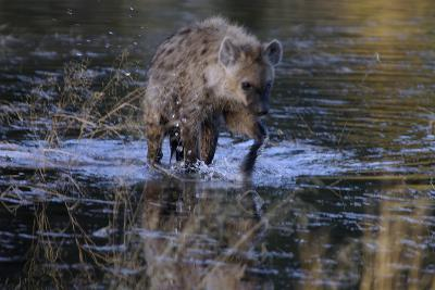 Spotted Hyena Crossing Water, Upper Vumbura Plains, Botswana-Anne Keiser-Photographic Print