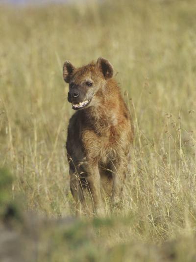 Spotted Hyena on the Savanna, Crocuta Crocuta, Masai Mara, Kenya, Africa-Adam Jones-Photographic Print
