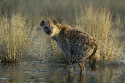 Spotted Hyena on the Shoreline, Upper Vumbura Plains, Botswana-Anne Keiser-Photographic Print