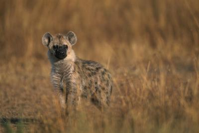 Spotted Hyena Pup--Photographic Print