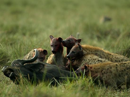 Spotted Hyenas (Crocuta Crocuta) Feed on a Buffalo-Beverly Joubert-Photographic Print
