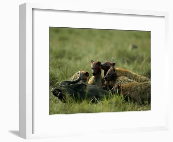 Spotted Hyenas (Crocuta Crocuta) Feed on a Buffalo-Beverly Joubert-Framed Photographic Print