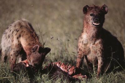 Spotted Hyenas Feeding on Carcass-DLILLC-Photographic Print