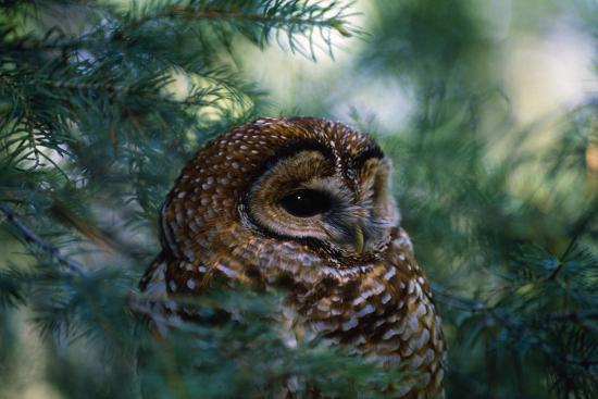 Spotted Owl--Photographic Print