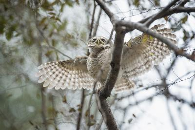 Spotted Owlet (Athene Brama), Ranthambhore, Rajasthan, India-Janette Hill-Photographic Print