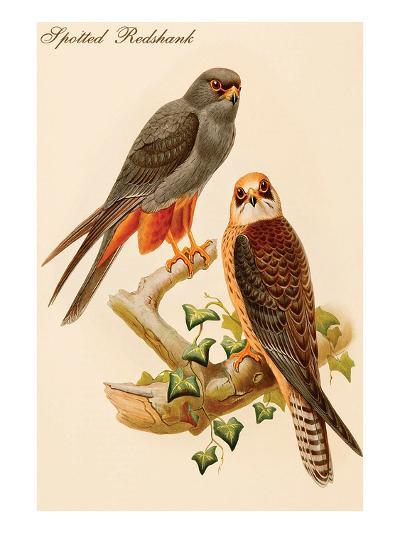 Spotted Redshank-John Gould-Art Print