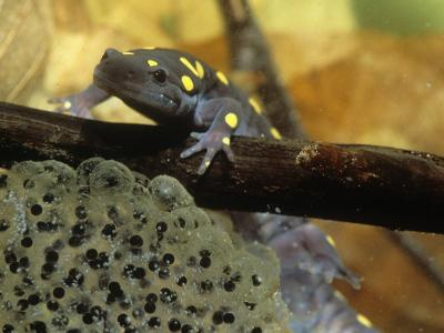 Spotted Salamander in a Vernal Pool with Eggs, Ambystoma Maculatum, . Northeastern USA-Gustav W. Verderber-Photographic Print