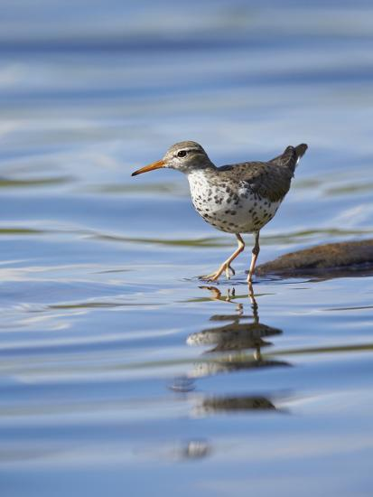 Spotted Sandpiper (Actitis Macularia)-James Hager-Photographic Print