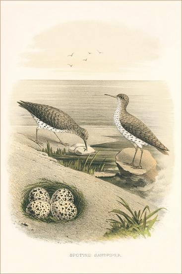 Spotted Sandpiper Nest and Eggs--Art Print