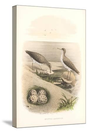Spotted Sandpipers, Eggs