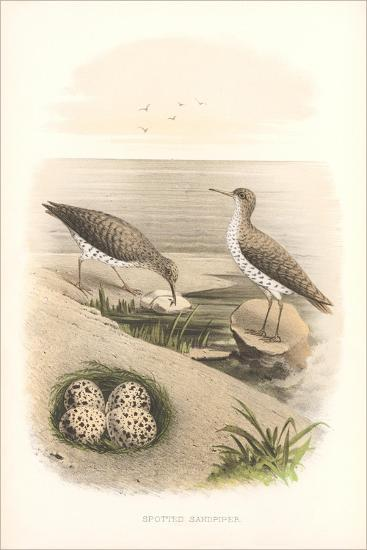 Spotted Sandpipers, Eggs--Art Print