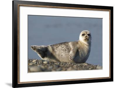 Spotted Seal (Phoca Largha) Pup Resting on a the Gravel Beach of the Bering Sea-Gerrit Vyn-Framed Photographic Print