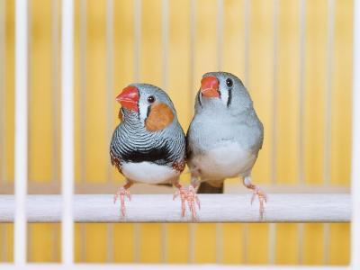 Spotted Sided Zebra Finches, Pair in Cage (Poephila / Taeniopygia Guttata)-Reinhard-Photographic Print