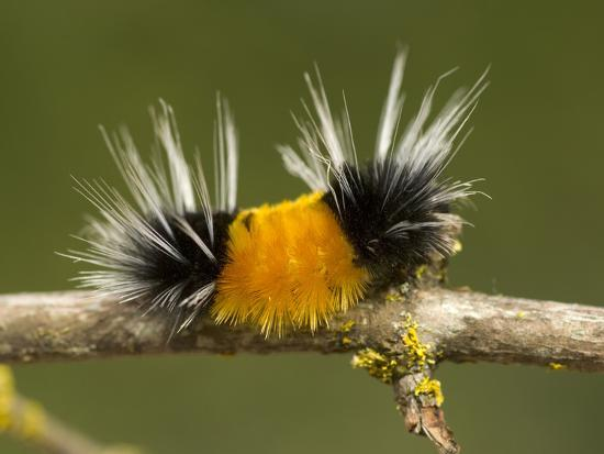 Spotted Tussock Moth Caterpillar, Lophocampa Maculata, British Columbia, Canada-Paul Colangelo-Photographic Print