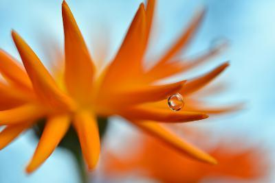 Sprawling Orange-Heidi Westum-Photographic Print