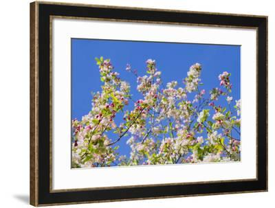 Spring Apple Blossom-Cora Niele-Framed Photographic Print