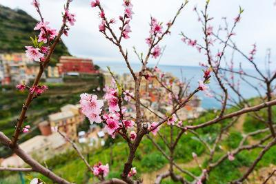 Spring Blooming Cherry Tree with Background Scenic View of Colorful Houses of Manarola Village, Cin-BlueOrange Studio-Photographic Print