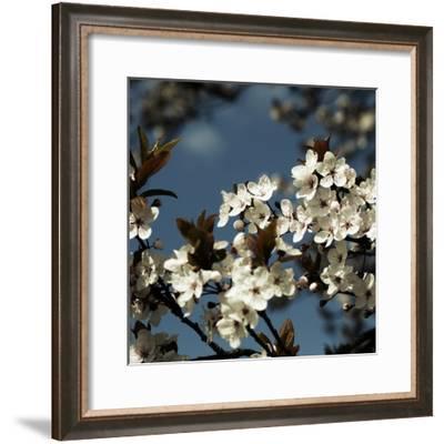Spring Blossom on Tree 004-Tom Quartermaine-Framed Giclee Print