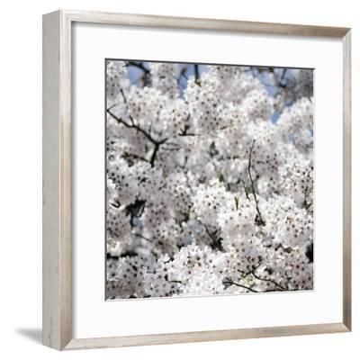 Spring Blossom on Tree 008-Tom Quartermaine-Framed Giclee Print
