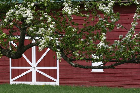 Spring Blossoms Red Barn-Robert Goldwitz-Photographic Print