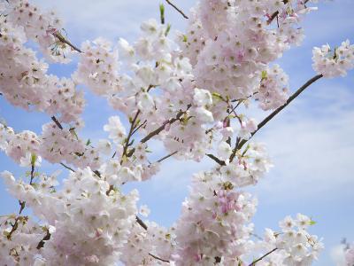 Spring Blossoms-George Johnson-Photographic Print