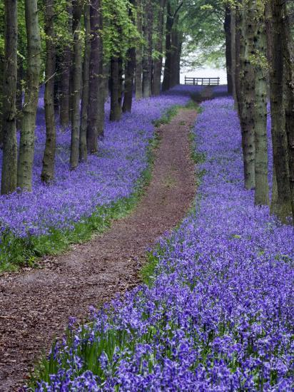 Spring Bluebell Woodlands, Hertfordshire, UK-David Clapp-Photographic Print