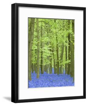 Spring Bluebells in Beech Woodland, Dockey Woods, Buckinghamshire-John Woodworth-Framed Photographic Print