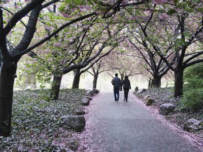 https://imgc.artprintimages.com/img/print/spring-cherry-blossom-brooklyn-botanical-garden-brooklyn_u-l-p9344s0.jpg?p=0