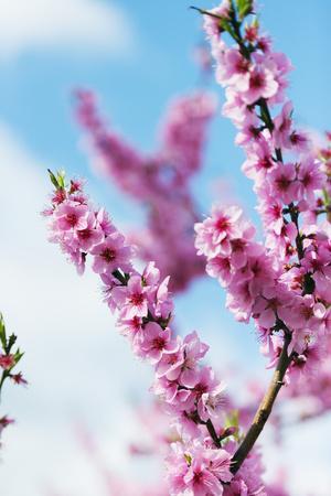 https://imgc.artprintimages.com/img/print/spring-cherry-blossom-festival-jinhei-south-korea-asia_u-l-pxxsbq0.jpg?p=0