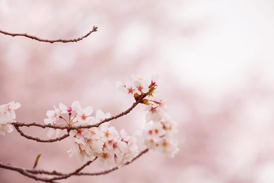 Spring Cherry Blossoms in Soft Spring Light-landio-Art Print