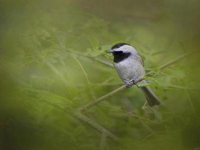 Spring Chickadee-Jai Johnson-Giclee Print
