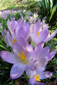 Spring Crocus Many Purple