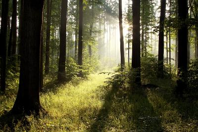 Spring Deciduous Forest at Dawn-nature78-Photographic Print