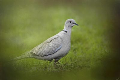 Spring Dove-Jai Johnson-Giclee Print