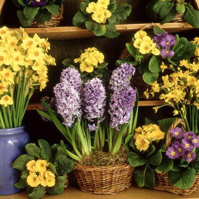 https://imgc.artprintimages.com/img/print/spring-flower-arrangement-primula-polyanthus-narcissus-hyacinthus_u-l-q10qufm0.jpg?p=0