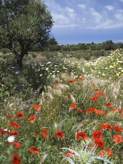 Spring Flowers, Akrotiri Peninsula, Chania Region, Crete, Greek Islands, Greece, Europe-Stuart Black-Photographic Print