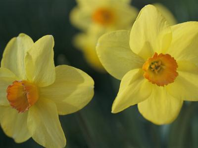 Spring Flowers Daffodils Early April Massachusetts Photographic