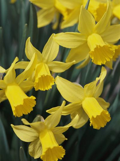 Spring Flowers, Daffodils, Early Spring, Massachusetts-Darlyne A^ Murawski-Photographic Print