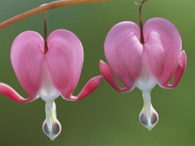 Spring Flowers, Dutchmans Breeches (Bleeding Hearts), Late April