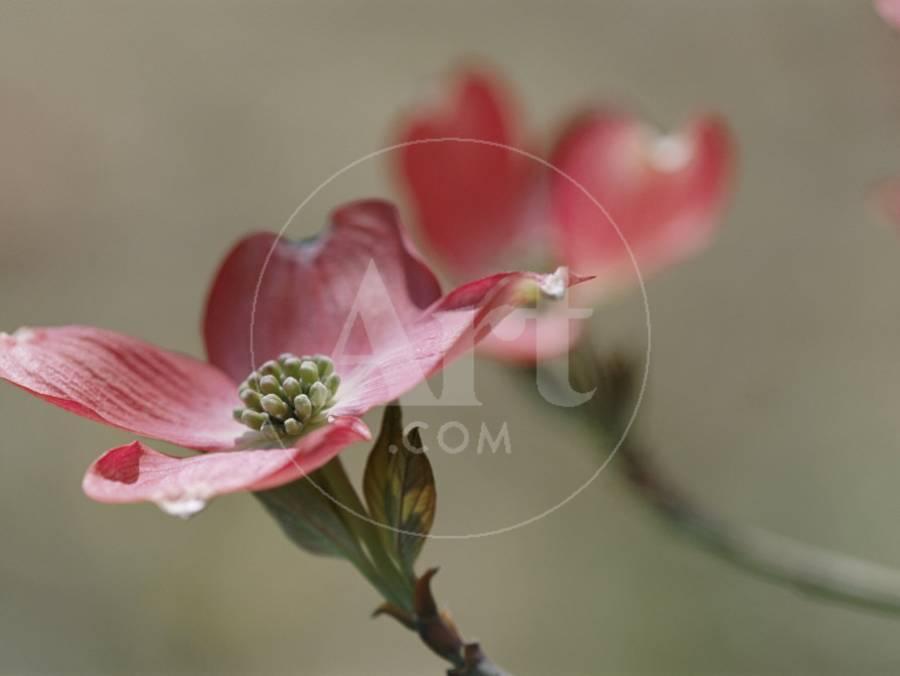 Spring flowers pink dogwood mid may massachusetts photographic spring flowers pink dogwood mid may massachusetts photographic print by darlyne a murawski art mightylinksfo