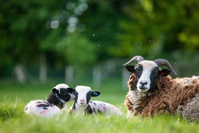 Spring Lambs, Dorset, England, United Kingdom, Europe-John Alexander-Photographic Print