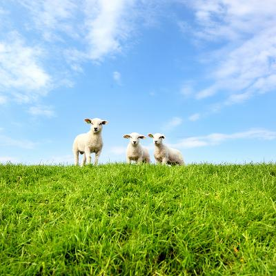 Spring Lambs-MarcelTB-Photographic Print