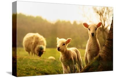 Spring Lambs-Drew Rawcliffe-Stretched Canvas Print