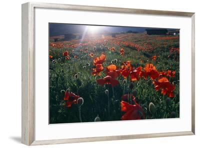 Spring Landscape of Alborz Mountains Filled with Large Red Poppies and Scattered Shepherd's Huts-Babak Tafreshi-Framed Photographic Print