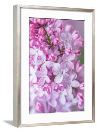 Spring Lilacs III-Romona Murdock-Framed Art Print