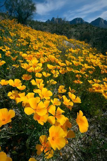 Spring, Mexican Gold Poppies Bloom in Saguaro National Park, Tucson, Arizona-Susan Degginger-Photographic Print