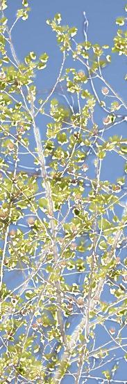 Spring Poplars II-Sharon Chandler-Art Print