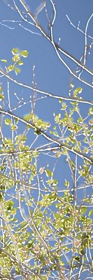 Spring Poplars IV-Sharon Chandler-Art Print